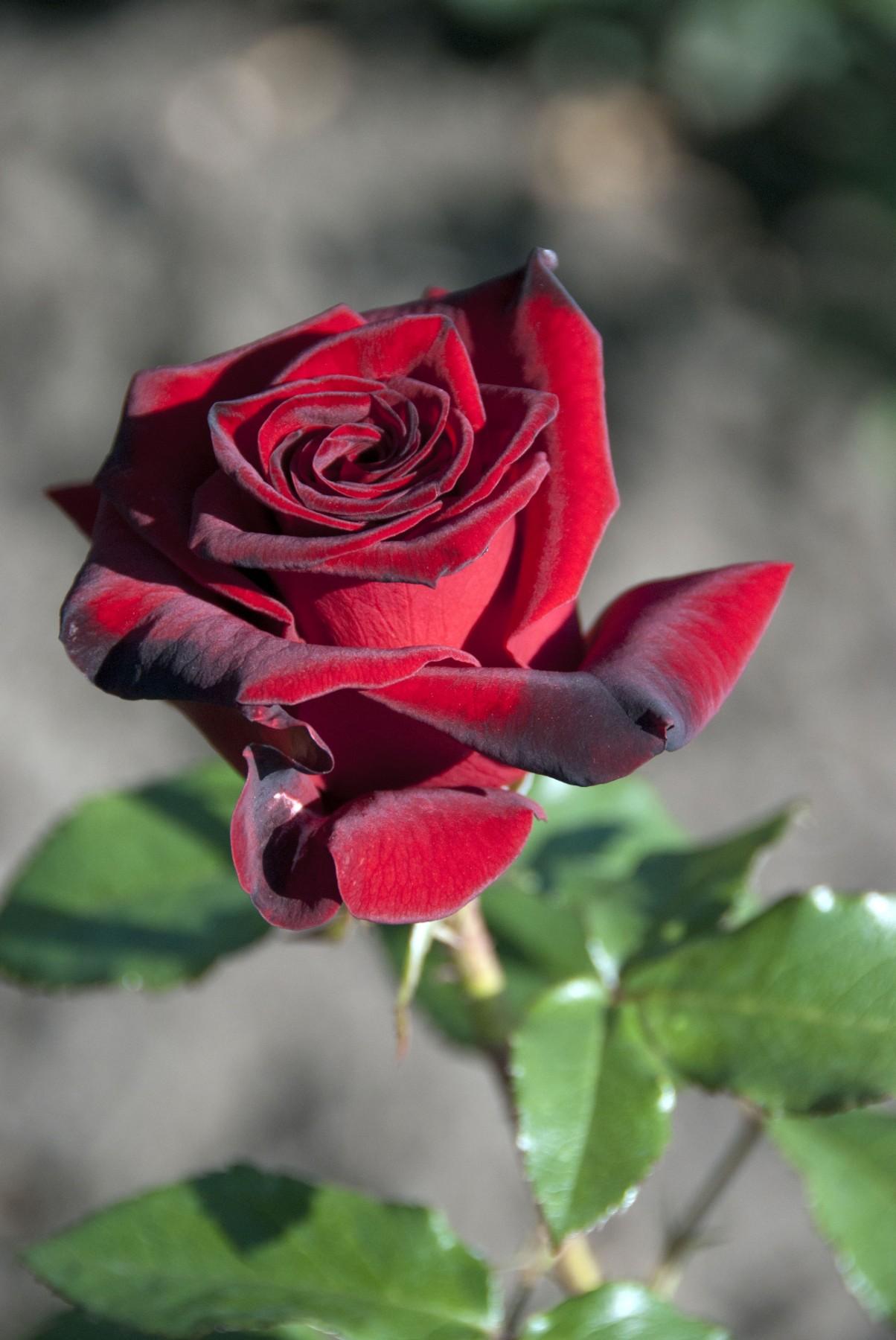 >Троянда чайно-гібридна Блек Меджик