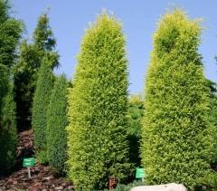 Можжевельник обыкновенный Голд Кон <br>Ялівець звичайний Голд Кон<br>Juniperus communis Gold Cone