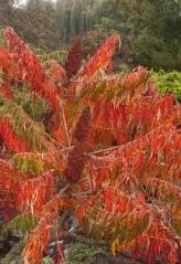 Осенняя окраска Сумаха пушистого / оленерогого Dissecta