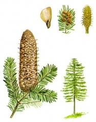 Пихта кавказская 'Ambolouri' ('Tlugi')