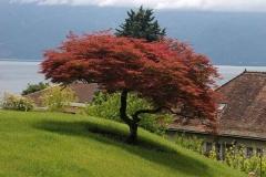 Клён веерный / пальмолистный Атропурпуреум <br>Клен віяловий / пальмолистий Атропурпуреум<br>Acer palmatum Atropurpureum