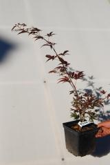 Клен веерный пальмолистный Атропурпуреум