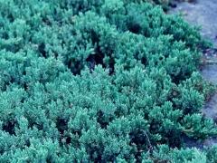 Juniperus Bonin Isles