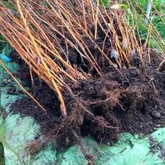 Малина красная Крепыш с голым корнем