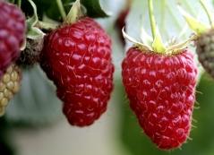 Raspberries Krepish