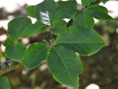 Magnolia soulangeana Galaxy
