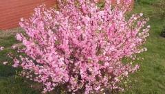 Prunus triloba Rosenmund / Louiseania Rosenmund