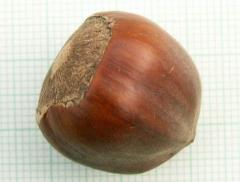 Hazelnut tree Katalonski