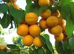 Абрикос Ананасный (средний) <br>Абрикос Ананасовий (середній) <br>Prunus armeniaca Apricot Pineapple