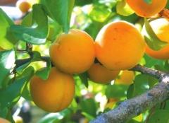 Prunus armeniaca Apricot Pineapple