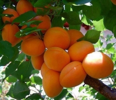 Armeniaca Apricot Pineapple