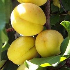 Apricot tree Apricot Pineapple