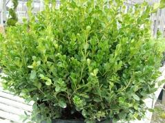 Buxus microphilla 'Faulkner'