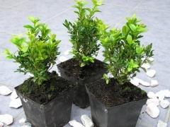 Buxus 'Arborescens'