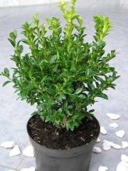 Самшит вечнозелёный для зеленых изгородей