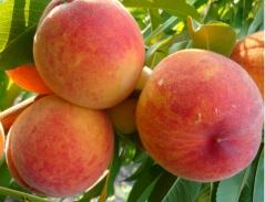 Персик домашний Княжья Краса (ранний)<br>Персик домашній Княжа Краса (ранній)<br>Prunus persica Knyaja Krasa