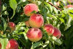 Персик Княжья Краса средний