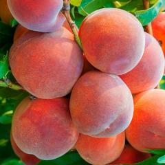 Сорт персика Княжья Краса
