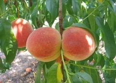 Сорт персику Княжа Краса