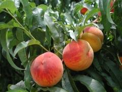 Prunus persica Knyaja Krasa