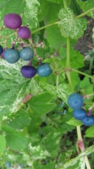 Девичий виноград Виче Робуста