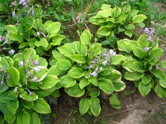 Hosta hybrida Golden Tiara