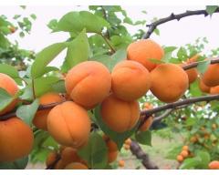 Prunus armeniaca Melitopolskiy ranniy