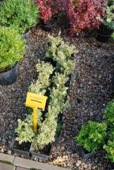 Самшит вечнозелёный Buxus sempervirens Elegans
