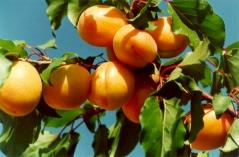 Абрикос сорта Полесский крупноплодный