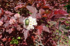 Physocarpus opulifolius Little Angel