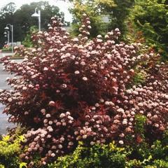 Physocarpus калинолистный Little Angel