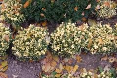 Buxus sempervirens Marginata