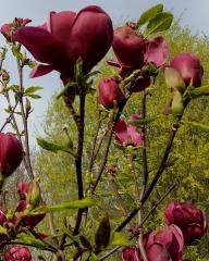 Magnolia soulangiana Genie
