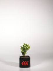 Самшит вечнозеленый Suffruticosa возраст 2 года