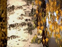 Betula плакучая Dalecarlica
