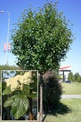 Рябина круглолистная Магнифика<br>Горобина круглолиста Магніфіка<br>Sorbus aria Magnifica