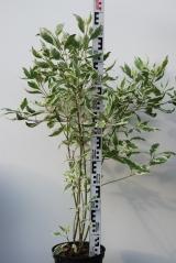 Дерен белый Элегантиссима возраст 5 лет (сентябрь)