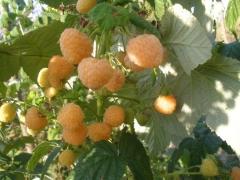 Rubus idaeus Utrennyaya Rosa