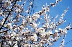 Цвет абрикоса Ананасный Цюрупинский