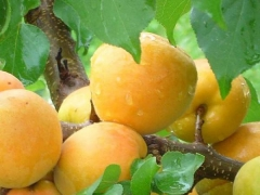 Плоды Абрикос Ананасный Цюрупинский