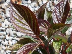 Дерен Кессельринги листья