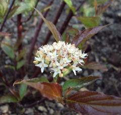 Дерен Кессельринги цветы