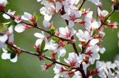 Вишня войлочная цветение