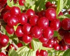 Вишня войлочная плоды