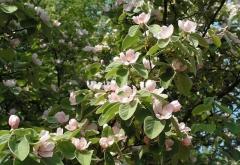 Айва яблоковидная Золотистая цветение