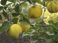 Айва яблоковидная Золотистая