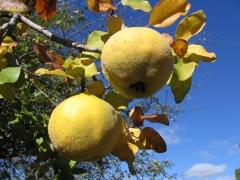 Айва яблоковидная Золотистая плоды
