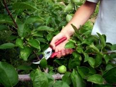 Айва яблоковидная Золотистая обрезка
