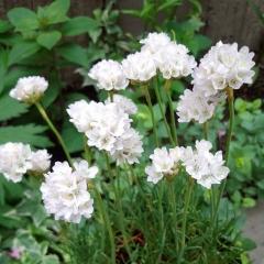 Армерия приморская Альба (белая)<br>Армерія приморська Альба (біла)<br>Armeria maritima Alba