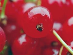 Смородина червона